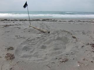 ロングビーチに上がったカメ