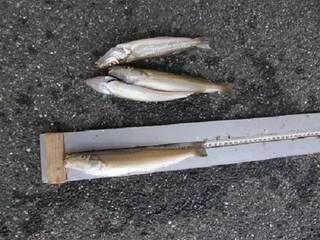 29匹も釣った方。最長寸は24.0cm