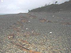 流木が浜に打ち上げられていました。