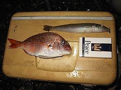 きんどんの釣果をクーラーボックスのフタに乗っけて撮影しました。